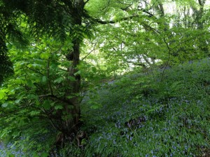 Pretty May bluebell woods of Aberystwyth, or donkey killing fields?