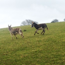 Galloping donkey nutcases