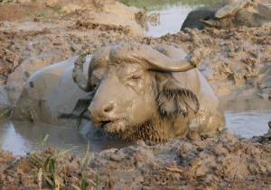 Mud_buffalo