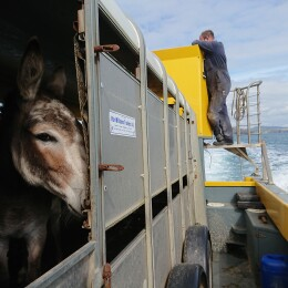 Getting a donkey to an island
